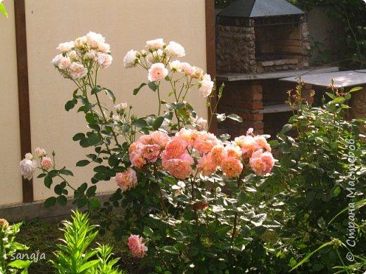 Долго не навещала  свой садик. Многие розы зацвели, но дождь изрядно похозяйничал. фото 4