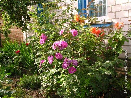 Долго не навещала  свой садик. Многие розы зацвели, но дождь изрядно похозяйничал. фото 5