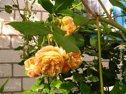Долго не навещала  свой садик. Многие розы зацвели, но дождь изрядно похозяйничал. фото 7