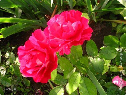 Долго не навещала  свой садик. Многие розы зацвели, но дождь изрядно похозяйничал. фото 6