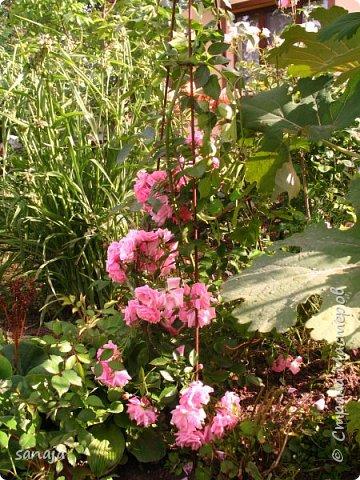 Долго не навещала  свой садик. Многие розы зацвели, но дождь изрядно похозяйничал. фото 8