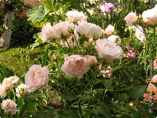 Долго не навещала  свой садик. Многие розы зацвели, но дождь изрядно похозяйничал. фото 9