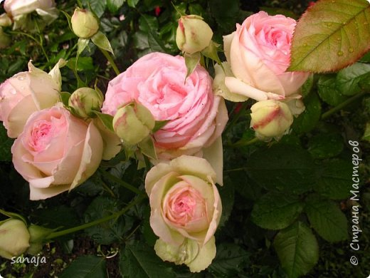Долго не навещала  свой садик. Многие розы зацвели, но дождь изрядно похозяйничал. фото 10