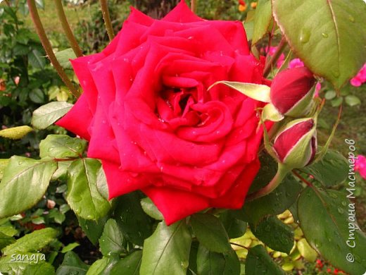 Долго не навещала  свой садик. Многие розы зацвели, но дождь изрядно похозяйничал. фото 11