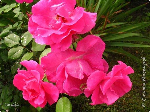 Долго не навещала  свой садик. Многие розы зацвели, но дождь изрядно похозяйничал. фото 12