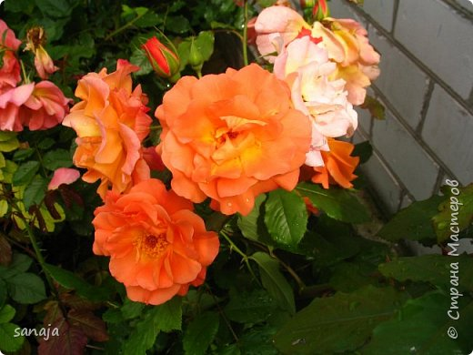 Долго не навещала  свой садик. Многие розы зацвели, но дождь изрядно похозяйничал. фото 13