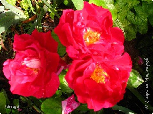 Долго не навещала  свой садик. Многие розы зацвели, но дождь изрядно похозяйничал. фото 14