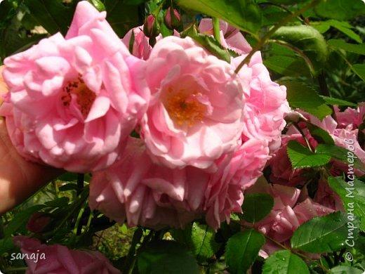 Долго не навещала  свой садик. Многие розы зацвели, но дождь изрядно похозяйничал. фото 15