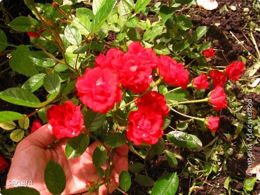 Долго не навещала  свой садик. Многие розы зацвели, но дождь изрядно похозяйничал. фото 16