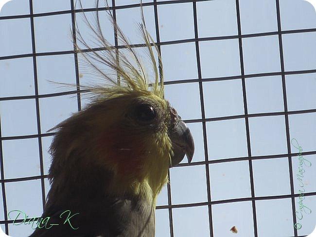 это мой Коша) Среди волнистых попугайчиков он сам-один, скучающий и поющий хуже мартовского кота))) ~в глазах солнце~ фото 1