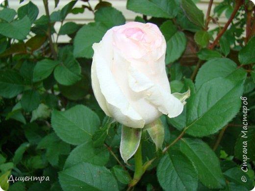 """Здравствуйте, дорогие Мастера и просто любители прекрасного. Сегодня я с цветами. Давно собиралась показать свою коллекцию роз, но летом обычно руки не доходили, а зимой вроде и не в тему... Вместо предисловия: стыдно признаться, но в молодости я просто терпеть не могла роз. Думала: чего с ней носятся """"королева цветов, королева цветов""""? Мне розы напоминали кочан капусты... Вот то ли дело - гвоздики! Скорее всего, мое мнение тогда напрямую зависело от материального положения, не знаю. Слава Богу, сейчас я имею возможность выращивать те цветы, которые люблю. Лет 10 назад посадила и пару кустов роз ( Black Magic и Polar).  И так они мне приглянулись, что начала каждый год добавлять по одному-два куста, пока не выяснилось, что больше нет места. Правда, этой зимой много кустов пострадало, поэтому и место освободилось. Так что, будем заполнять...    А пока желаю приятного просмотра.     фото 1"""