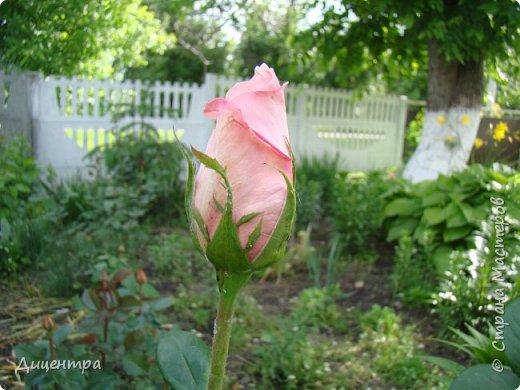 """Здравствуйте, дорогие Мастера и просто любители прекрасного. Сегодня я с цветами. Давно собиралась показать свою коллекцию роз, но летом обычно руки не доходили, а зимой вроде и не в тему... Вместо предисловия: стыдно признаться, но в молодости я просто терпеть не могла роз. Думала: чего с ней носятся """"королева цветов, королева цветов""""? Мне розы напоминали кочан капусты... Вот то ли дело - гвоздики! Скорее всего, мое мнение тогда напрямую зависело от материального положения, не знаю. Слава Богу, сейчас я имею возможность выращивать те цветы, которые люблю. Лет 10 назад посадила и пару кустов роз ( Black Magic и Polar).  И так они мне приглянулись, что начала каждый год добавлять по одному-два куста, пока не выяснилось, что больше нет места. Правда, этой зимой много кустов пострадало, поэтому и место освободилось. Так что, будем заполнять...    А пока желаю приятного просмотра.     фото 2"""