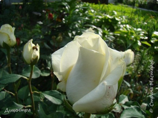 """Здравствуйте, дорогие Мастера и просто любители прекрасного. Сегодня я с цветами. Давно собиралась показать свою коллекцию роз, но летом обычно руки не доходили, а зимой вроде и не в тему... Вместо предисловия: стыдно признаться, но в молодости я просто терпеть не могла роз. Думала: чего с ней носятся """"королева цветов, королева цветов""""? Мне розы напоминали кочан капусты... Вот то ли дело - гвоздики! Скорее всего, мое мнение тогда напрямую зависело от материального положения, не знаю. Слава Богу, сейчас я имею возможность выращивать те цветы, которые люблю. Лет 10 назад посадила и пару кустов роз ( Black Magic и Polar).  И так они мне приглянулись, что начала каждый год добавлять по одному-два куста, пока не выяснилось, что больше нет места. Правда, этой зимой много кустов пострадало, поэтому и место освободилось. Так что, будем заполнять...    А пока желаю приятного просмотра.     фото 3"""