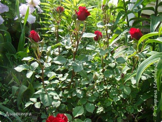 """Здравствуйте, дорогие Мастера и просто любители прекрасного. Сегодня я с цветами. Давно собиралась показать свою коллекцию роз, но летом обычно руки не доходили, а зимой вроде и не в тему... Вместо предисловия: стыдно признаться, но в молодости я просто терпеть не могла роз. Думала: чего с ней носятся """"королева цветов, королева цветов""""? Мне розы напоминали кочан капусты... Вот то ли дело - гвоздики! Скорее всего, мое мнение тогда напрямую зависело от материального положения, не знаю. Слава Богу, сейчас я имею возможность выращивать те цветы, которые люблю. Лет 10 назад посадила и пару кустов роз ( Black Magic и Polar).  И так они мне приглянулись, что начала каждый год добавлять по одному-два куста, пока не выяснилось, что больше нет места. Правда, этой зимой много кустов пострадало, поэтому и место освободилось. Так что, будем заполнять...    А пока желаю приятного просмотра.     фото 5"""