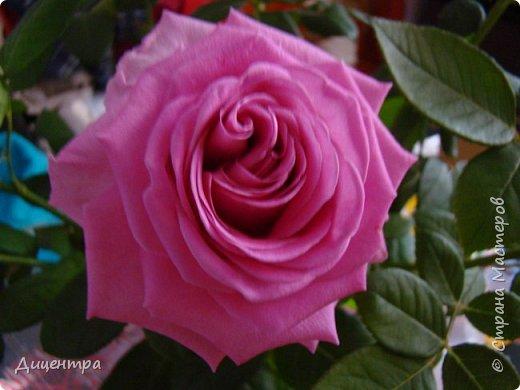 """Здравствуйте, дорогие Мастера и просто любители прекрасного. Сегодня я с цветами. Давно собиралась показать свою коллекцию роз, но летом обычно руки не доходили, а зимой вроде и не в тему... Вместо предисловия: стыдно признаться, но в молодости я просто терпеть не могла роз. Думала: чего с ней носятся """"королева цветов, королева цветов""""? Мне розы напоминали кочан капусты... Вот то ли дело - гвоздики! Скорее всего, мое мнение тогда напрямую зависело от материального положения, не знаю. Слава Богу, сейчас я имею возможность выращивать те цветы, которые люблю. Лет 10 назад посадила и пару кустов роз ( Black Magic и Polar).  И так они мне приглянулись, что начала каждый год добавлять по одному-два куста, пока не выяснилось, что больше нет места. Правда, этой зимой много кустов пострадало, поэтому и место освободилось. Так что, будем заполнять...    А пока желаю приятного просмотра.     фото 6"""