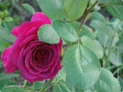 """Здравствуйте, дорогие Мастера и просто любители прекрасного. Сегодня я с цветами. Давно собиралась показать свою коллекцию роз, но летом обычно руки не доходили, а зимой вроде и не в тему... Вместо предисловия: стыдно признаться, но в молодости я просто терпеть не могла роз. Думала: чего с ней носятся """"королева цветов, королева цветов""""? Мне розы напоминали кочан капусты... Вот то ли дело - гвоздики! Скорее всего, мое мнение тогда напрямую зависело от материального положения, не знаю. Слава Богу, сейчас я имею возможность выращивать те цветы, которые люблю. Лет 10 назад посадила и пару кустов роз ( Black Magic и Polar).  И так они мне приглянулись, что начала каждый год добавлять по одному-два куста, пока не выяснилось, что больше нет места. Правда, этой зимой много кустов пострадало, поэтому и место освободилось. Так что, будем заполнять...    А пока желаю приятного просмотра.     фото 7"""