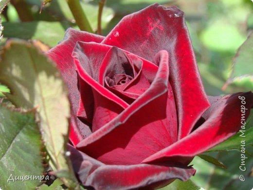 """Здравствуйте, дорогие Мастера и просто любители прекрасного. Сегодня я с цветами. Давно собиралась показать свою коллекцию роз, но летом обычно руки не доходили, а зимой вроде и не в тему... Вместо предисловия: стыдно признаться, но в молодости я просто терпеть не могла роз. Думала: чего с ней носятся """"королева цветов, королева цветов""""? Мне розы напоминали кочан капусты... Вот то ли дело - гвоздики! Скорее всего, мое мнение тогда напрямую зависело от материального положения, не знаю. Слава Богу, сейчас я имею возможность выращивать те цветы, которые люблю. Лет 10 назад посадила и пару кустов роз ( Black Magic и Polar).  И так они мне приглянулись, что начала каждый год добавлять по одному-два куста, пока не выяснилось, что больше нет места. Правда, этой зимой много кустов пострадало, поэтому и место освободилось. Так что, будем заполнять...    А пока желаю приятного просмотра.     фото 8"""