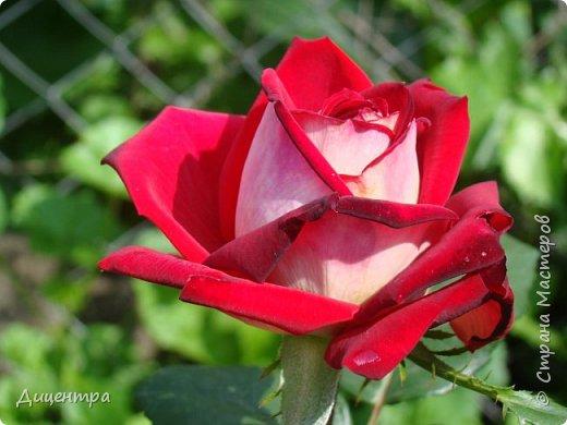 """Здравствуйте, дорогие Мастера и просто любители прекрасного. Сегодня я с цветами. Давно собиралась показать свою коллекцию роз, но летом обычно руки не доходили, а зимой вроде и не в тему... Вместо предисловия: стыдно признаться, но в молодости я просто терпеть не могла роз. Думала: чего с ней носятся """"королева цветов, королева цветов""""? Мне розы напоминали кочан капусты... Вот то ли дело - гвоздики! Скорее всего, мое мнение тогда напрямую зависело от материального положения, не знаю. Слава Богу, сейчас я имею возможность выращивать те цветы, которые люблю. Лет 10 назад посадила и пару кустов роз ( Black Magic и Polar).  И так они мне приглянулись, что начала каждый год добавлять по одному-два куста, пока не выяснилось, что больше нет места. Правда, этой зимой много кустов пострадало, поэтому и место освободилось. Так что, будем заполнять...    А пока желаю приятного просмотра.     фото 10"""