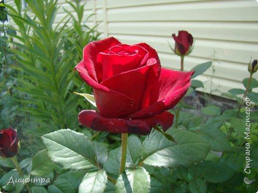 """Здравствуйте, дорогие Мастера и просто любители прекрасного. Сегодня я с цветами. Давно собиралась показать свою коллекцию роз, но летом обычно руки не доходили, а зимой вроде и не в тему... Вместо предисловия: стыдно признаться, но в молодости я просто терпеть не могла роз. Думала: чего с ней носятся """"королева цветов, королева цветов""""? Мне розы напоминали кочан капусты... Вот то ли дело - гвоздики! Скорее всего, мое мнение тогда напрямую зависело от материального положения, не знаю. Слава Богу, сейчас я имею возможность выращивать те цветы, которые люблю. Лет 10 назад посадила и пару кустов роз ( Black Magic и Polar).  И так они мне приглянулись, что начала каждый год добавлять по одному-два куста, пока не выяснилось, что больше нет места. Правда, этой зимой много кустов пострадало, поэтому и место освободилось. Так что, будем заполнять...    А пока желаю приятного просмотра.     фото 13"""