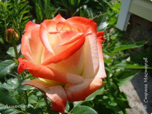 """Здравствуйте, дорогие Мастера и просто любители прекрасного. Сегодня я с цветами. Давно собиралась показать свою коллекцию роз, но летом обычно руки не доходили, а зимой вроде и не в тему... Вместо предисловия: стыдно признаться, но в молодости я просто терпеть не могла роз. Думала: чего с ней носятся """"королева цветов, королева цветов""""? Мне розы напоминали кочан капусты... Вот то ли дело - гвоздики! Скорее всего, мое мнение тогда напрямую зависело от материального положения, не знаю. Слава Богу, сейчас я имею возможность выращивать те цветы, которые люблю. Лет 10 назад посадила и пару кустов роз ( Black Magic и Polar).  И так они мне приглянулись, что начала каждый год добавлять по одному-два куста, пока не выяснилось, что больше нет места. Правда, этой зимой много кустов пострадало, поэтому и место освободилось. Так что, будем заполнять...    А пока желаю приятного просмотра.     фото 11"""