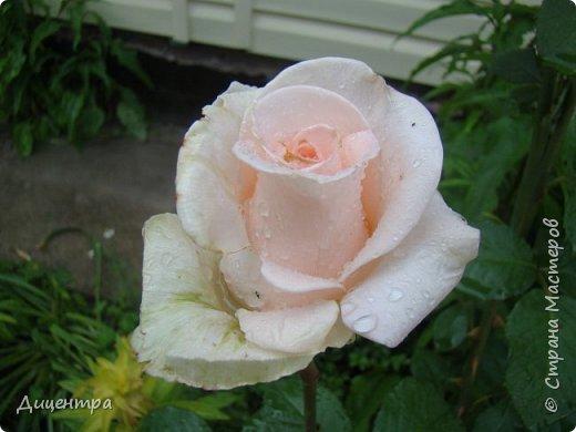 """Здравствуйте, дорогие Мастера и просто любители прекрасного. Сегодня я с цветами. Давно собиралась показать свою коллекцию роз, но летом обычно руки не доходили, а зимой вроде и не в тему... Вместо предисловия: стыдно признаться, но в молодости я просто терпеть не могла роз. Думала: чего с ней носятся """"королева цветов, королева цветов""""? Мне розы напоминали кочан капусты... Вот то ли дело - гвоздики! Скорее всего, мое мнение тогда напрямую зависело от материального положения, не знаю. Слава Богу, сейчас я имею возможность выращивать те цветы, которые люблю. Лет 10 назад посадила и пару кустов роз ( Black Magic и Polar).  И так они мне приглянулись, что начала каждый год добавлять по одному-два куста, пока не выяснилось, что больше нет места. Правда, этой зимой много кустов пострадало, поэтому и место освободилось. Так что, будем заполнять...    А пока желаю приятного просмотра.     фото 14"""