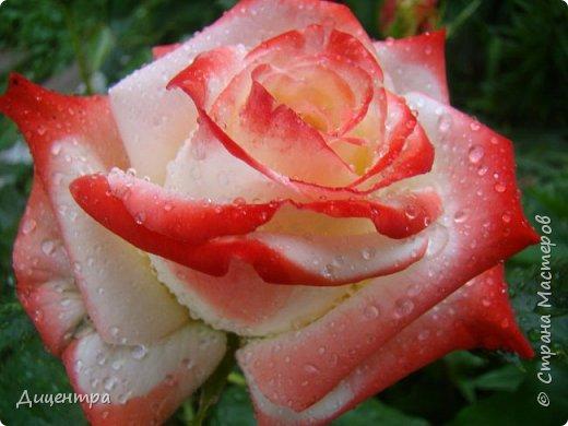 """Здравствуйте, дорогие Мастера и просто любители прекрасного. Сегодня я с цветами. Давно собиралась показать свою коллекцию роз, но летом обычно руки не доходили, а зимой вроде и не в тему... Вместо предисловия: стыдно признаться, но в молодости я просто терпеть не могла роз. Думала: чего с ней носятся """"королева цветов, королева цветов""""? Мне розы напоминали кочан капусты... Вот то ли дело - гвоздики! Скорее всего, мое мнение тогда напрямую зависело от материального положения, не знаю. Слава Богу, сейчас я имею возможность выращивать те цветы, которые люблю. Лет 10 назад посадила и пару кустов роз ( Black Magic и Polar).  И так они мне приглянулись, что начала каждый год добавлять по одному-два куста, пока не выяснилось, что больше нет места. Правда, этой зимой много кустов пострадало, поэтому и место освободилось. Так что, будем заполнять...    А пока желаю приятного просмотра.     фото 12"""