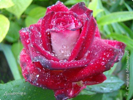 """Здравствуйте, дорогие Мастера и просто любители прекрасного. Сегодня я с цветами. Давно собиралась показать свою коллекцию роз, но летом обычно руки не доходили, а зимой вроде и не в тему... Вместо предисловия: стыдно признаться, но в молодости я просто терпеть не могла роз. Думала: чего с ней носятся """"королева цветов, королева цветов""""? Мне розы напоминали кочан капусты... Вот то ли дело - гвоздики! Скорее всего, мое мнение тогда напрямую зависело от материального положения, не знаю. Слава Богу, сейчас я имею возможность выращивать те цветы, которые люблю. Лет 10 назад посадила и пару кустов роз ( Black Magic и Polar).  И так они мне приглянулись, что начала каждый год добавлять по одному-два куста, пока не выяснилось, что больше нет места. Правда, этой зимой много кустов пострадало, поэтому и место освободилось. Так что, будем заполнять...    А пока желаю приятного просмотра.     фото 15"""