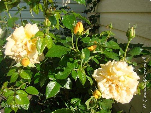 """Здравствуйте, дорогие Мастера и просто любители прекрасного. Сегодня я с цветами. Давно собиралась показать свою коллекцию роз, но летом обычно руки не доходили, а зимой вроде и не в тему... Вместо предисловия: стыдно признаться, но в молодости я просто терпеть не могла роз. Думала: чего с ней носятся """"королева цветов, королева цветов""""? Мне розы напоминали кочан капусты... Вот то ли дело - гвоздики! Скорее всего, мое мнение тогда напрямую зависело от материального положения, не знаю. Слава Богу, сейчас я имею возможность выращивать те цветы, которые люблю. Лет 10 назад посадила и пару кустов роз ( Black Magic и Polar).  И так они мне приглянулись, что начала каждый год добавлять по одному-два куста, пока не выяснилось, что больше нет места. Правда, этой зимой много кустов пострадало, поэтому и место освободилось. Так что, будем заполнять...    А пока желаю приятного просмотра.     фото 16"""
