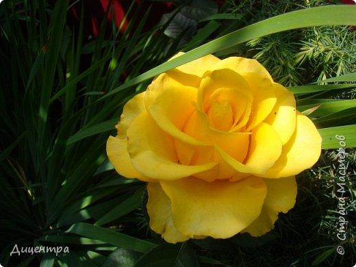 """Здравствуйте, дорогие Мастера и просто любители прекрасного. Сегодня я с цветами. Давно собиралась показать свою коллекцию роз, но летом обычно руки не доходили, а зимой вроде и не в тему... Вместо предисловия: стыдно признаться, но в молодости я просто терпеть не могла роз. Думала: чего с ней носятся """"королева цветов, королева цветов""""? Мне розы напоминали кочан капусты... Вот то ли дело - гвоздики! Скорее всего, мое мнение тогда напрямую зависело от материального положения, не знаю. Слава Богу, сейчас я имею возможность выращивать те цветы, которые люблю. Лет 10 назад посадила и пару кустов роз ( Black Magic и Polar).  И так они мне приглянулись, что начала каждый год добавлять по одному-два куста, пока не выяснилось, что больше нет места. Правда, этой зимой много кустов пострадало, поэтому и место освободилось. Так что, будем заполнять...    А пока желаю приятного просмотра.     фото 19"""