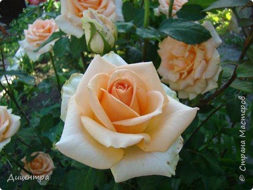 """Здравствуйте, дорогие Мастера и просто любители прекрасного. Сегодня я с цветами. Давно собиралась показать свою коллекцию роз, но летом обычно руки не доходили, а зимой вроде и не в тему... Вместо предисловия: стыдно признаться, но в молодости я просто терпеть не могла роз. Думала: чего с ней носятся """"королева цветов, королева цветов""""? Мне розы напоминали кочан капусты... Вот то ли дело - гвоздики! Скорее всего, мое мнение тогда напрямую зависело от материального положения, не знаю. Слава Богу, сейчас я имею возможность выращивать те цветы, которые люблю. Лет 10 назад посадила и пару кустов роз ( Black Magic и Polar).  И так они мне приглянулись, что начала каждый год добавлять по одному-два куста, пока не выяснилось, что больше нет места. Правда, этой зимой много кустов пострадало, поэтому и место освободилось. Так что, будем заполнять...    А пока желаю приятного просмотра.     фото 18"""