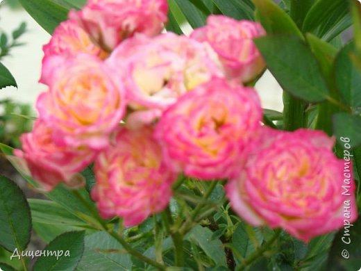 """Здравствуйте, дорогие Мастера и просто любители прекрасного. Сегодня я с цветами. Давно собиралась показать свою коллекцию роз, но летом обычно руки не доходили, а зимой вроде и не в тему... Вместо предисловия: стыдно признаться, но в молодости я просто терпеть не могла роз. Думала: чего с ней носятся """"королева цветов, королева цветов""""? Мне розы напоминали кочан капусты... Вот то ли дело - гвоздики! Скорее всего, мое мнение тогда напрямую зависело от материального положения, не знаю. Слава Богу, сейчас я имею возможность выращивать те цветы, которые люблю. Лет 10 назад посадила и пару кустов роз ( Black Magic и Polar).  И так они мне приглянулись, что начала каждый год добавлять по одному-два куста, пока не выяснилось, что больше нет места. Правда, этой зимой много кустов пострадало, поэтому и место освободилось. Так что, будем заполнять...    А пока желаю приятного просмотра.     фото 21"""
