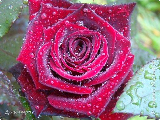"""Здравствуйте, дорогие Мастера и просто любители прекрасного. Сегодня я с цветами. Давно собиралась показать свою коллекцию роз, но летом обычно руки не доходили, а зимой вроде и не в тему... Вместо предисловия: стыдно признаться, но в молодости я просто терпеть не могла роз. Думала: чего с ней носятся """"королева цветов, королева цветов""""? Мне розы напоминали кочан капусты... Вот то ли дело - гвоздики! Скорее всего, мое мнение тогда напрямую зависело от материального положения, не знаю. Слава Богу, сейчас я имею возможность выращивать те цветы, которые люблю. Лет 10 назад посадила и пару кустов роз ( Black Magic и Polar).  И так они мне приглянулись, что начала каждый год добавлять по одному-два куста, пока не выяснилось, что больше нет места. Правда, этой зимой много кустов пострадало, поэтому и место освободилось. Так что, будем заполнять...    А пока желаю приятного просмотра.     фото 31"""