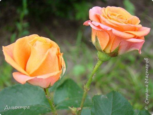 """Здравствуйте, дорогие Мастера и просто любители прекрасного. Сегодня я с цветами. Давно собиралась показать свою коллекцию роз, но летом обычно руки не доходили, а зимой вроде и не в тему... Вместо предисловия: стыдно признаться, но в молодости я просто терпеть не могла роз. Думала: чего с ней носятся """"королева цветов, королева цветов""""? Мне розы напоминали кочан капусты... Вот то ли дело - гвоздики! Скорее всего, мое мнение тогда напрямую зависело от материального положения, не знаю. Слава Богу, сейчас я имею возможность выращивать те цветы, которые люблю. Лет 10 назад посадила и пару кустов роз ( Black Magic и Polar).  И так они мне приглянулись, что начала каждый год добавлять по одному-два куста, пока не выяснилось, что больше нет места. Правда, этой зимой много кустов пострадало, поэтому и место освободилось. Так что, будем заполнять...    А пока желаю приятного просмотра.     фото 23"""