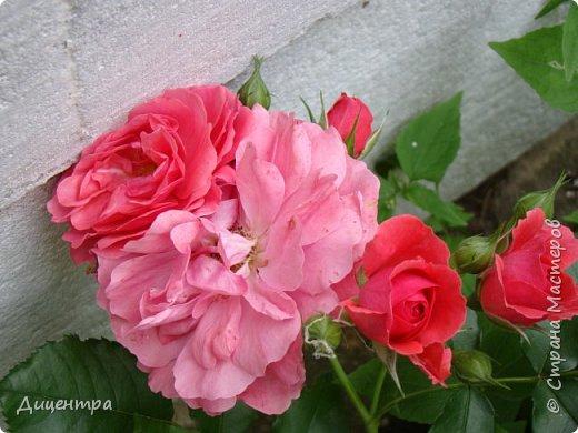 """Здравствуйте, дорогие Мастера и просто любители прекрасного. Сегодня я с цветами. Давно собиралась показать свою коллекцию роз, но летом обычно руки не доходили, а зимой вроде и не в тему... Вместо предисловия: стыдно признаться, но в молодости я просто терпеть не могла роз. Думала: чего с ней носятся """"королева цветов, королева цветов""""? Мне розы напоминали кочан капусты... Вот то ли дело - гвоздики! Скорее всего, мое мнение тогда напрямую зависело от материального положения, не знаю. Слава Богу, сейчас я имею возможность выращивать те цветы, которые люблю. Лет 10 назад посадила и пару кустов роз ( Black Magic и Polar).  И так они мне приглянулись, что начала каждый год добавлять по одному-два куста, пока не выяснилось, что больше нет места. Правда, этой зимой много кустов пострадало, поэтому и место освободилось. Так что, будем заполнять...    А пока желаю приятного просмотра.     фото 25"""