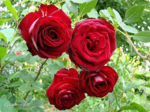 """Здравствуйте, дорогие Мастера и просто любители прекрасного. Сегодня я с цветами. Давно собиралась показать свою коллекцию роз, но летом обычно руки не доходили, а зимой вроде и не в тему... Вместо предисловия: стыдно признаться, но в молодости я просто терпеть не могла роз. Думала: чего с ней носятся """"королева цветов, королева цветов""""? Мне розы напоминали кочан капусты... Вот то ли дело - гвоздики! Скорее всего, мое мнение тогда напрямую зависело от материального положения, не знаю. Слава Богу, сейчас я имею возможность выращивать те цветы, которые люблю. Лет 10 назад посадила и пару кустов роз ( Black Magic и Polar).  И так они мне приглянулись, что начала каждый год добавлять по одному-два куста, пока не выяснилось, что больше нет места. Правда, этой зимой много кустов пострадало, поэтому и место освободилось. Так что, будем заполнять...    А пока желаю приятного просмотра.     фото 26"""