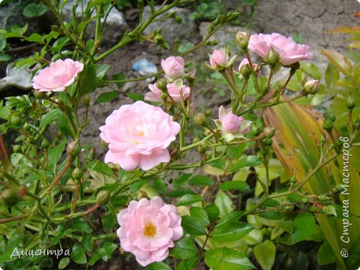 """Здравствуйте, дорогие Мастера и просто любители прекрасного. Сегодня я с цветами. Давно собиралась показать свою коллекцию роз, но летом обычно руки не доходили, а зимой вроде и не в тему... Вместо предисловия: стыдно признаться, но в молодости я просто терпеть не могла роз. Думала: чего с ней носятся """"королева цветов, королева цветов""""? Мне розы напоминали кочан капусты... Вот то ли дело - гвоздики! Скорее всего, мое мнение тогда напрямую зависело от материального положения, не знаю. Слава Богу, сейчас я имею возможность выращивать те цветы, которые люблю. Лет 10 назад посадила и пару кустов роз ( Black Magic и Polar).  И так они мне приглянулись, что начала каждый год добавлять по одному-два куста, пока не выяснилось, что больше нет места. Правда, этой зимой много кустов пострадало, поэтому и место освободилось. Так что, будем заполнять...    А пока желаю приятного просмотра.     фото 27"""