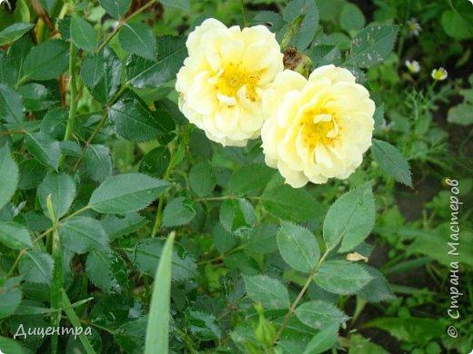 """Здравствуйте, дорогие Мастера и просто любители прекрасного. Сегодня я с цветами. Давно собиралась показать свою коллекцию роз, но летом обычно руки не доходили, а зимой вроде и не в тему... Вместо предисловия: стыдно признаться, но в молодости я просто терпеть не могла роз. Думала: чего с ней носятся """"королева цветов, королева цветов""""? Мне розы напоминали кочан капусты... Вот то ли дело - гвоздики! Скорее всего, мое мнение тогда напрямую зависело от материального положения, не знаю. Слава Богу, сейчас я имею возможность выращивать те цветы, которые люблю. Лет 10 назад посадила и пару кустов роз ( Black Magic и Polar).  И так они мне приглянулись, что начала каждый год добавлять по одному-два куста, пока не выяснилось, что больше нет места. Правда, этой зимой много кустов пострадало, поэтому и место освободилось. Так что, будем заполнять...    А пока желаю приятного просмотра.     фото 29"""
