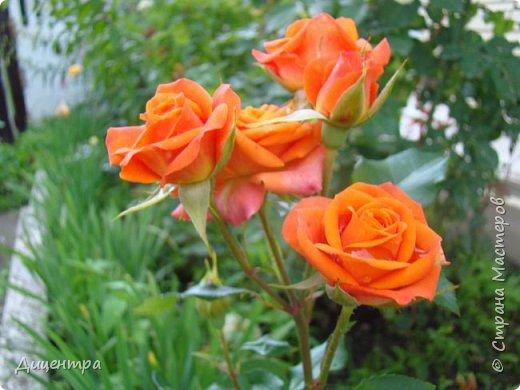 """Здравствуйте, дорогие Мастера и просто любители прекрасного. Сегодня я с цветами. Давно собиралась показать свою коллекцию роз, но летом обычно руки не доходили, а зимой вроде и не в тему... Вместо предисловия: стыдно признаться, но в молодости я просто терпеть не могла роз. Думала: чего с ней носятся """"королева цветов, королева цветов""""? Мне розы напоминали кочан капусты... Вот то ли дело - гвоздики! Скорее всего, мое мнение тогда напрямую зависело от материального положения, не знаю. Слава Богу, сейчас я имею возможность выращивать те цветы, которые люблю. Лет 10 назад посадила и пару кустов роз ( Black Magic и Polar).  И так они мне приглянулись, что начала каждый год добавлять по одному-два куста, пока не выяснилось, что больше нет места. Правда, этой зимой много кустов пострадало, поэтому и место освободилось. Так что, будем заполнять...    А пока желаю приятного просмотра.     фото 28"""