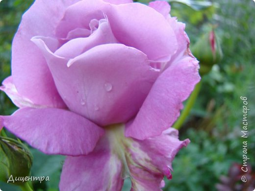 """Здравствуйте, дорогие Мастера и просто любители прекрасного. Сегодня я с цветами. Давно собиралась показать свою коллекцию роз, но летом обычно руки не доходили, а зимой вроде и не в тему... Вместо предисловия: стыдно признаться, но в молодости я просто терпеть не могла роз. Думала: чего с ней носятся """"королева цветов, королева цветов""""? Мне розы напоминали кочан капусты... Вот то ли дело - гвоздики! Скорее всего, мое мнение тогда напрямую зависело от материального положения, не знаю. Слава Богу, сейчас я имею возможность выращивать те цветы, которые люблю. Лет 10 назад посадила и пару кустов роз ( Black Magic и Polar).  И так они мне приглянулись, что начала каждый год добавлять по одному-два куста, пока не выяснилось, что больше нет места. Правда, этой зимой много кустов пострадало, поэтому и место освободилось. Так что, будем заполнять...    А пока желаю приятного просмотра.     фото 30"""