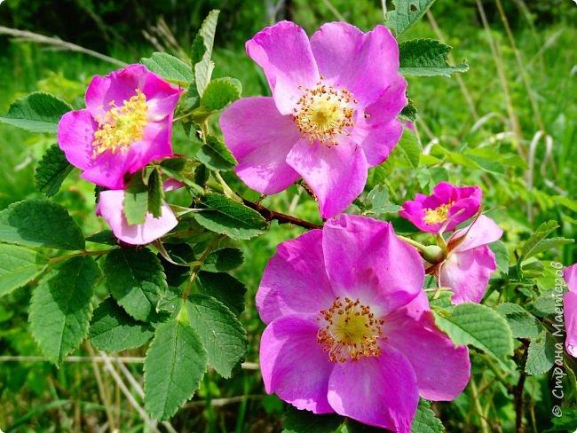 Это Иоанн Кронштадтский, святой праведник, сказал, что цветы – остатки рая на земле. И разве нельзя назвать райским местом этот родник в Бешпельтирском логу? У нас, в Горном Алтае, такая красота повсюду. И я приглашаю вас на неспешную прогулку по цветущему Алтаю. фото 94