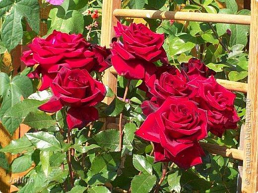 Всем моим гостям солнечного летнего настроения! У меня, наконец-то, начался сезон цветения роз. И мне не терпится поделиться с вами, дорогие жители и гости Страны мастеров, своей радостью. Когда-то в моем далёком детстве розы казались мне чем-то абсолютно  недосягаемым. Астры и космея были пределом моих  мечтаний. В далёкой национальной провинциальной деревне астры-то мало кто знал, а выращивали 1-2 человека. Когда у меня много лет назад зацвела первая роза, это было что-то невообразимое. Тогда для меня существовал один вид - роза. Конечно, теперь я много знаю , читаю, смотрю в интернете, узнаю на своём, к сожалению, иногда крайне печальном опыте, когда розы погибают из-за суровых зим или во время оттепелей. Розы остаются для меня как и тогда, просто розами, без претензий. Они украшают моё лето и дарят радость окружающим. Посмотрите на них и вы. Пусть они подарят вам несколько минут счастья. фото 1