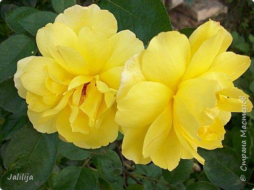 Всем моим гостям солнечного летнего настроения! У меня, наконец-то, начался сезон цветения роз. И мне не терпится поделиться с вами, дорогие жители и гости Страны мастеров, своей радостью. Когда-то в моем далёком детстве розы казались мне чем-то абсолютно  недосягаемым. Астры и космея были пределом моих  мечтаний. В далёкой национальной провинциальной деревне астры-то мало кто знал, а выращивали 1-2 человека. Когда у меня много лет назад зацвела первая роза, это было что-то невообразимое. Тогда для меня существовал один вид - роза. Конечно, теперь я много знаю , читаю, смотрю в интернете, узнаю на своём, к сожалению, иногда крайне печальном опыте, когда розы погибают из-за суровых зим или во время оттепелей. Розы остаются для меня как и тогда, просто розами, без претензий. Они украшают моё лето и дарят радость окружающим. Посмотрите на них и вы. Пусть они подарят вам несколько минут счастья. фото 19