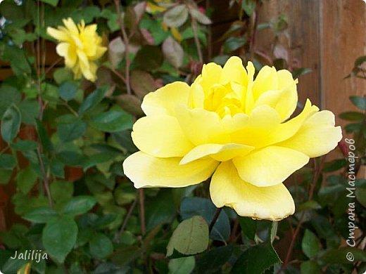 Всем моим гостям солнечного летнего настроения! У меня, наконец-то, начался сезон цветения роз. И мне не терпится поделиться с вами, дорогие жители и гости Страны мастеров, своей радостью. Когда-то в моем далёком детстве розы казались мне чем-то абсолютно  недосягаемым. Астры и космея были пределом моих  мечтаний. В далёкой национальной провинциальной деревне астры-то мало кто знал, а выращивали 1-2 человека. Когда у меня много лет назад зацвела первая роза, это было что-то невообразимое. Тогда для меня существовал один вид - роза. Конечно, теперь я много знаю , читаю, смотрю в интернете, узнаю на своём, к сожалению, иногда крайне печальном опыте, когда розы погибают из-за суровых зим или во время оттепелей. Розы остаются для меня как и тогда, просто розами, без претензий. Они украшают моё лето и дарят радость окружающим. Посмотрите на них и вы. Пусть они подарят вам несколько минут счастья. фото 20