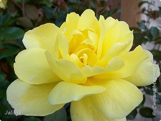 Всем моим гостям солнечного летнего настроения! У меня, наконец-то, начался сезон цветения роз. И мне не терпится поделиться с вами, дорогие жители и гости Страны мастеров, своей радостью. Когда-то в моем далёком детстве розы казались мне чем-то абсолютно  недосягаемым. Астры и космея были пределом моих  мечтаний. В далёкой национальной провинциальной деревне астры-то мало кто знал, а выращивали 1-2 человека. Когда у меня много лет назад зацвела первая роза, это было что-то невообразимое. Тогда для меня существовал один вид - роза. Конечно, теперь я много знаю , читаю, смотрю в интернете, узнаю на своём, к сожалению, иногда крайне печальном опыте, когда розы погибают из-за суровых зим или во время оттепелей. Розы остаются для меня как и тогда, просто розами, без претензий. Они украшают моё лето и дарят радость окружающим. Посмотрите на них и вы. Пусть они подарят вам несколько минут счастья. фото 21