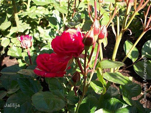 Всем моим гостям солнечного летнего настроения! У меня, наконец-то, начался сезон цветения роз. И мне не терпится поделиться с вами, дорогие жители и гости Страны мастеров, своей радостью. Когда-то в моем далёком детстве розы казались мне чем-то абсолютно  недосягаемым. Астры и космея были пределом моих  мечтаний. В далёкой национальной провинциальной деревне астры-то мало кто знал, а выращивали 1-2 человека. Когда у меня много лет назад зацвела первая роза, это было что-то невообразимое. Тогда для меня существовал один вид - роза. Конечно, теперь я много знаю , читаю, смотрю в интернете, узнаю на своём, к сожалению, иногда крайне печальном опыте, когда розы погибают из-за суровых зим или во время оттепелей. Розы остаются для меня как и тогда, просто розами, без претензий. Они украшают моё лето и дарят радость окружающим. Посмотрите на них и вы. Пусть они подарят вам несколько минут счастья. фото 23