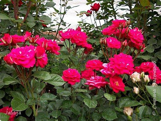 Всем моим гостям солнечного летнего настроения! У меня, наконец-то, начался сезон цветения роз. И мне не терпится поделиться с вами, дорогие жители и гости Страны мастеров, своей радостью. Когда-то в моем далёком детстве розы казались мне чем-то абсолютно  недосягаемым. Астры и космея были пределом моих  мечтаний. В далёкой национальной провинциальной деревне астры-то мало кто знал, а выращивали 1-2 человека. Когда у меня много лет назад зацвела первая роза, это было что-то невообразимое. Тогда для меня существовал один вид - роза. Конечно, теперь я много знаю , читаю, смотрю в интернете, узнаю на своём, к сожалению, иногда крайне печальном опыте, когда розы погибают из-за суровых зим или во время оттепелей. Розы остаются для меня как и тогда, просто розами, без претензий. Они украшают моё лето и дарят радость окружающим. Посмотрите на них и вы. Пусть они подарят вам несколько минут счастья. фото 25