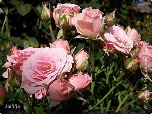 Всем моим гостям солнечного летнего настроения! У меня, наконец-то, начался сезон цветения роз. И мне не терпится поделиться с вами, дорогие жители и гости Страны мастеров, своей радостью. Когда-то в моем далёком детстве розы казались мне чем-то абсолютно  недосягаемым. Астры и космея были пределом моих  мечтаний. В далёкой национальной провинциальной деревне астры-то мало кто знал, а выращивали 1-2 человека. Когда у меня много лет назад зацвела первая роза, это было что-то невообразимое. Тогда для меня существовал один вид - роза. Конечно, теперь я много знаю , читаю, смотрю в интернете, узнаю на своём, к сожалению, иногда крайне печальном опыте, когда розы погибают из-за суровых зим или во время оттепелей. Розы остаются для меня как и тогда, просто розами, без претензий. Они украшают моё лето и дарят радость окружающим. Посмотрите на них и вы. Пусть они подарят вам несколько минут счастья. фото 26