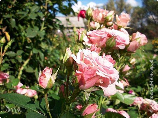 Всем моим гостям солнечного летнего настроения! У меня, наконец-то, начался сезон цветения роз. И мне не терпится поделиться с вами, дорогие жители и гости Страны мастеров, своей радостью. Когда-то в моем далёком детстве розы казались мне чем-то абсолютно  недосягаемым. Астры и космея были пределом моих  мечтаний. В далёкой национальной провинциальной деревне астры-то мало кто знал, а выращивали 1-2 человека. Когда у меня много лет назад зацвела первая роза, это было что-то невообразимое. Тогда для меня существовал один вид - роза. Конечно, теперь я много знаю , читаю, смотрю в интернете, узнаю на своём, к сожалению, иногда крайне печальном опыте, когда розы погибают из-за суровых зим или во время оттепелей. Розы остаются для меня как и тогда, просто розами, без претензий. Они украшают моё лето и дарят радость окружающим. Посмотрите на них и вы. Пусть они подарят вам несколько минут счастья. фото 27