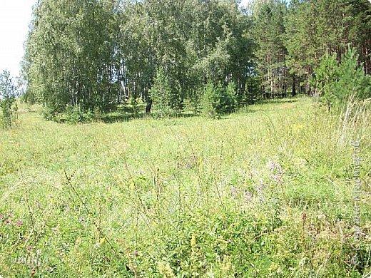 Несмотря на то, что летом много дел и в саду, и на огороде, мы часто бываем  в лесу. У нас удивительный лес! И вас, мои гости, приглашаю пройтись  по нашему лесу. фото 14