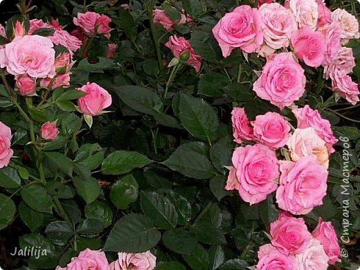 Всем моим гостям солнечного летнего настроения! У меня, наконец-то, начался сезон цветения роз. И мне не терпится поделиться с вами, дорогие жители и гости Страны мастеров, своей радостью. Когда-то в моем далёком детстве розы казались мне чем-то абсолютно  недосягаемым. Астры и космея были пределом моих  мечтаний. В далёкой национальной провинциальной деревне астры-то мало кто знал, а выращивали 1-2 человека. Когда у меня много лет назад зацвела первая роза, это было что-то невообразимое. Тогда для меня существовал один вид - роза. Конечно, теперь я много знаю , читаю, смотрю в интернете, узнаю на своём, к сожалению, иногда крайне печальном опыте, когда розы погибают из-за суровых зим или во время оттепелей. Розы остаются для меня как и тогда, просто розами, без претензий. Они украшают моё лето и дарят радость окружающим. Посмотрите на них и вы. Пусть они подарят вам несколько минут счастья. фото 28